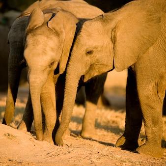 Cielę słonia i jego matka