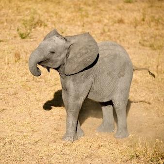 Cielę słonia