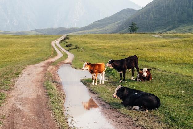 Cielęta i krowy pasące się w pobliżu kałuży na polnej drodze w górskiej okolicy. malowniczy zielony górski krajobraz ze zwierzętami gospodarskimi w zielonym polu. piękna sceneria pastwisk górskich z cielętami i krowami.
