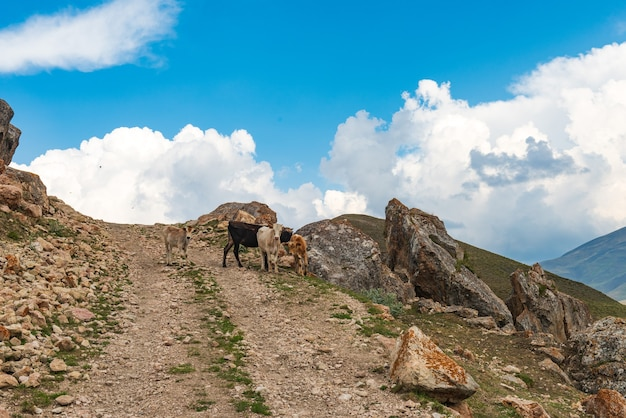 Cielęta na kamienistej górskiej drodze