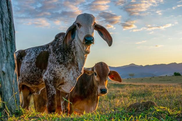 Cielęta rasy bydła gir na pastwisku na tle błękitnego nieba.