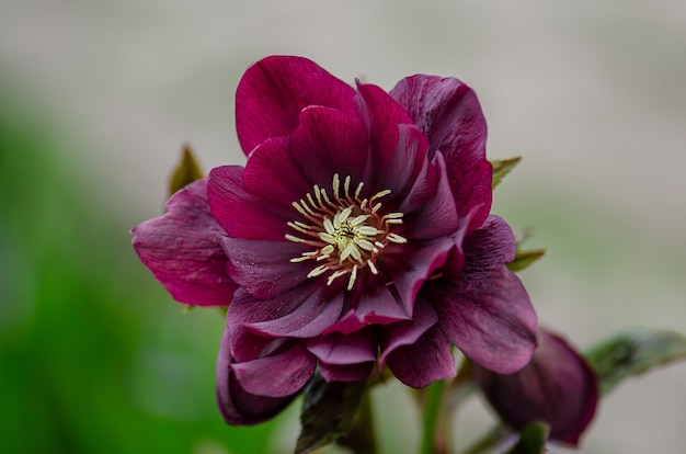 Ciemiernik czarny bordowy. rozkwitła wczesną wiosną jak kwiaty hellebore. helleborus orientalis delila