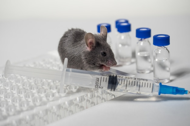 Ciemna mysz w laboratorium