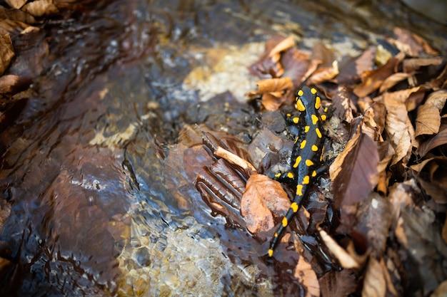 Ciemna salamandra z żółtymi plamami pełzającymi po liściach w pobliżu wody na wiosnę