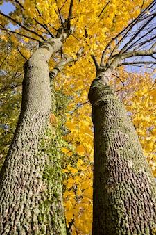 Ciemne pnie wierzchołka i korony drzew o żółtych liściach, słoneczny jesienny dzień, widok z dołu