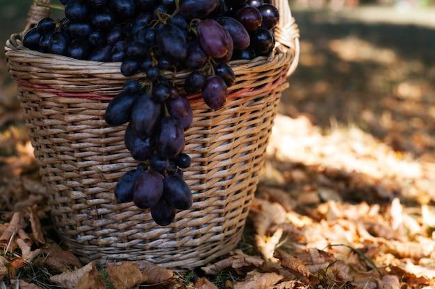 Ciemne winogrona w koszu w jesiennym lesie. tło bokeh. jesień i wrzesień koncepcja zbiorów.