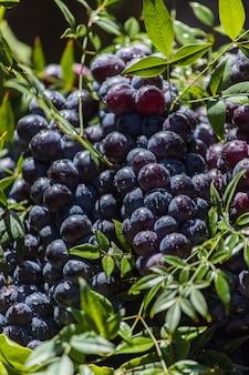 Ciemne winogrona w koszu. zbiór winogron. czerwone winogrona do wina