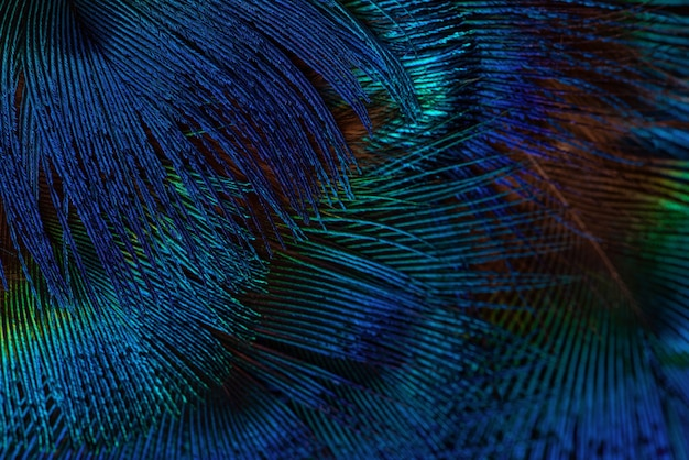 Ciemnoniebieskie tło piór. egzotyczne tekstury tła piór, zbliżenie.