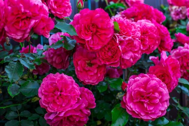 Ciemnoróżowe róże w ogrodzie