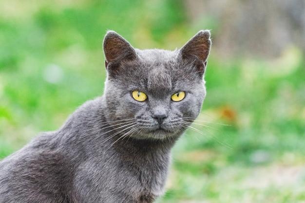 Ciemnoszary kot z żółtymi oczami na tle trawy