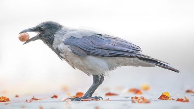 Ciemnoszary wrona na białym tle