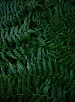 Ciemnozielona paproć rozgałęzia się teksturę w lesie