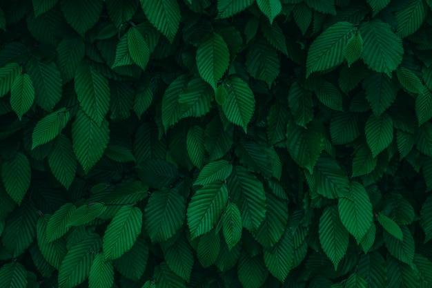 Ciemnozielona świeża naturalna liścia tła tekstura