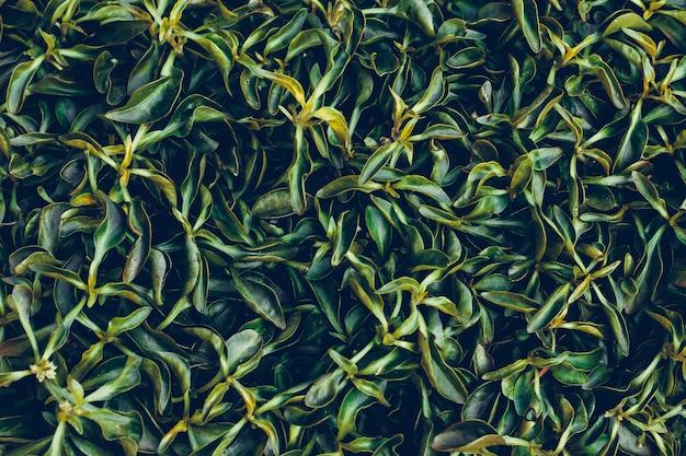Ciemnozielone liście na ścianie. naturalny wzór, tekstura liścia. abstrakcyjne tło. powierzchnia rośliny, wzór trawy. dekoracyjna zieleń.