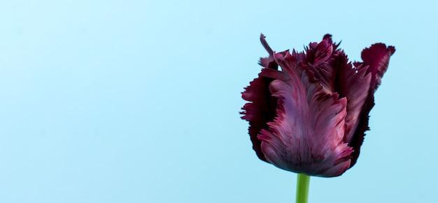 Ciemny fioletowy kwitnący tulipan na jasnoniebieskim tle z miejsca kopiowania. transparent. kartkę z życzeniami na wakacje.