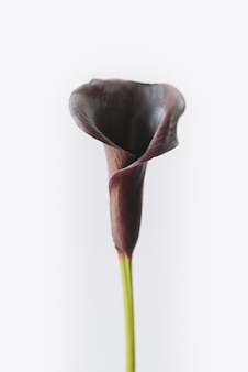Ciemny kwiat lilii calla lub arum na białym tle