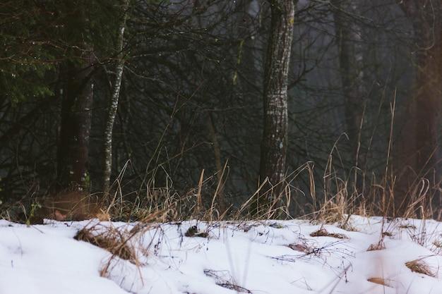 Ciemny mglisty śnieżny las w ciągu dnia. pnie drzew i suszona trawa pomarańczowa pokryte śniegiem. rustykalny dziki mistyczny krajobraz. ponure szare, nastrojowe niebo pokryte chmurami.