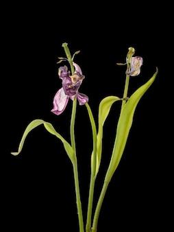 Ciemny zwiędły tulipan na czarnym tle. zdjęcie martwego kwiatu.