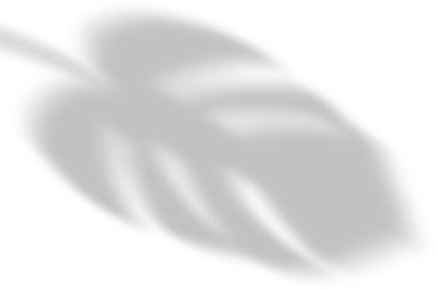Cień liści monstery na białym tle