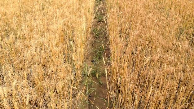 Cienka, gruntowa ścieżka między gęstymi polami z dojrzałą pszenicą
