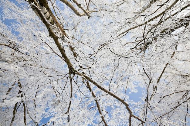 Cienkie gałęzie brzozy w szronie