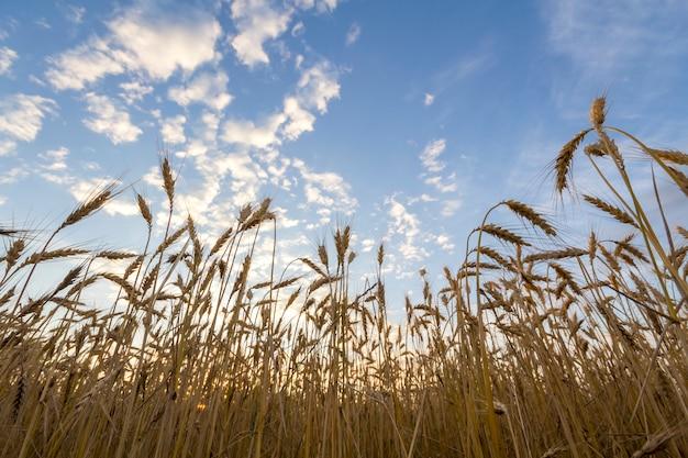 Ciepłe kolorowe złote dojrzałe do zbioru pola pszenicy. rolnictwo, rolnictwo i bogate zbiory.