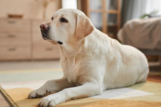 Ciepły, stonowany portret białego psa labradora leżącego na dywanie w przytulnym wnętrzu domu oświetlonym światłem słonecznym, kopia przestrzeń