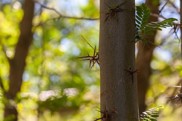 Ciernie akacji na białym tle na naturalnym tle i wyrastające z pnia drzewa.