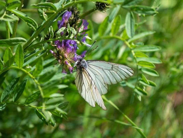Cierniowy motyl na kwiat koniczyny na rozmytym tle polany. tło dzikiej przyrody.