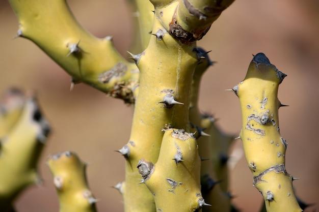 Ciernisty kaktus rosnący na pustyni