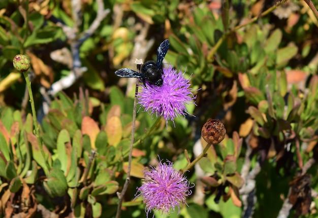 Cieśla pszczoła zbierająca pyłek z maltańskich kwiatów centaurów