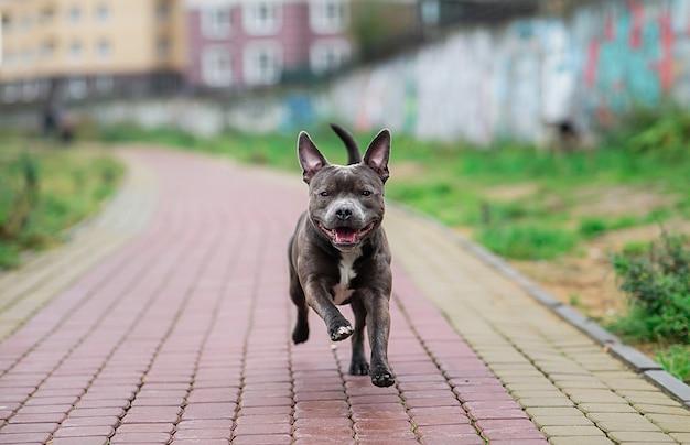 Cieszę się, że american staffordshire terrier działa w parku