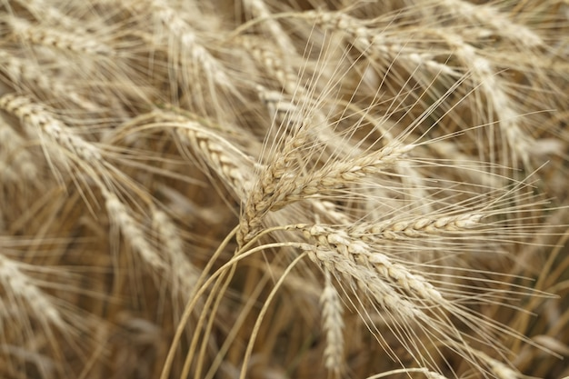 Ciężkie kłosy pszenicy wyginają się na wietrze.