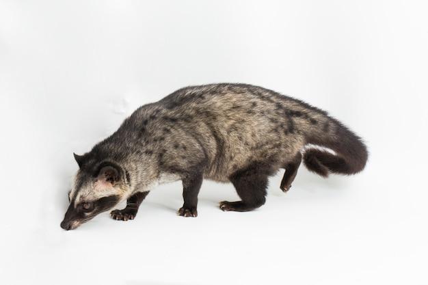 Civet palmowy lub luwak paradoxurus hermaphroditus na białym tle