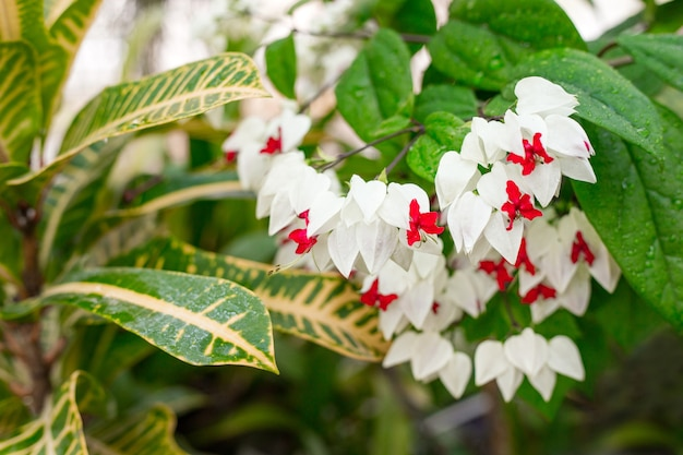 Clerodendrum thomsoniae kwitnąca, tropikalna roślina