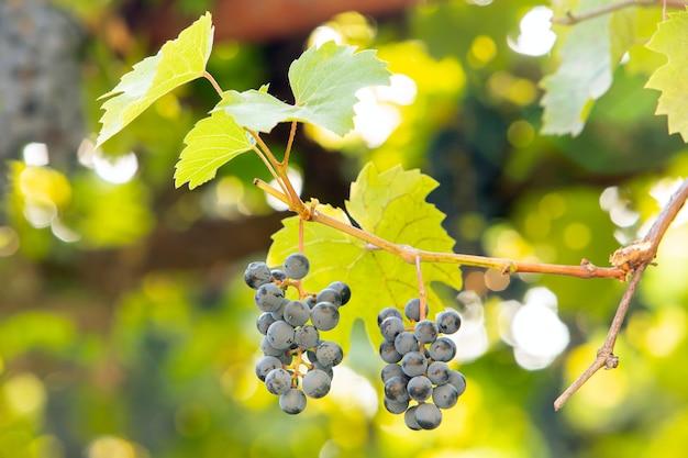 Clopse dojrzewających owoców winogron na gałęziach winorośli w letnim ogrodzie.