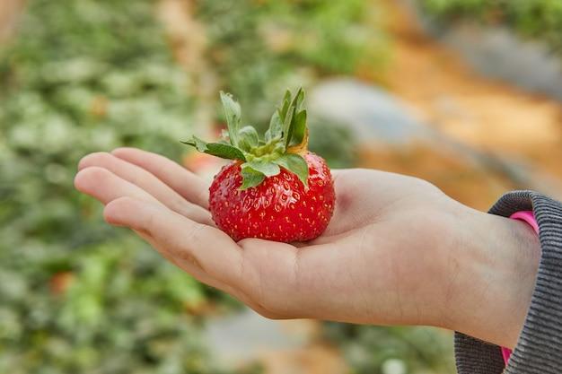 Clos eup ręki trzymającej świeże organiczne truskawki