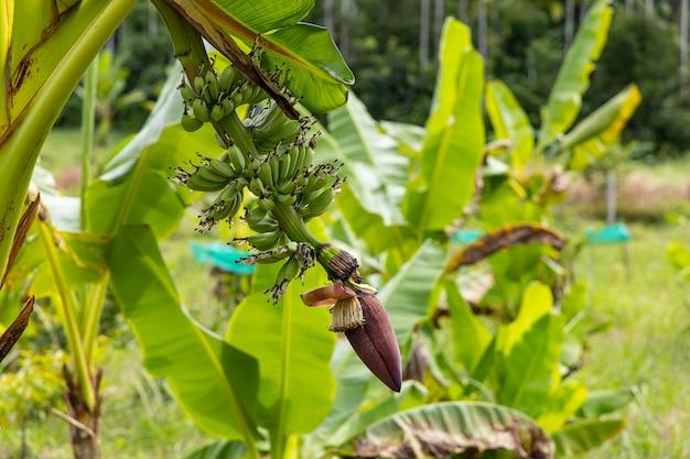 Close-up banana kapusta na tle drzewa bananowego w ogrodzie.