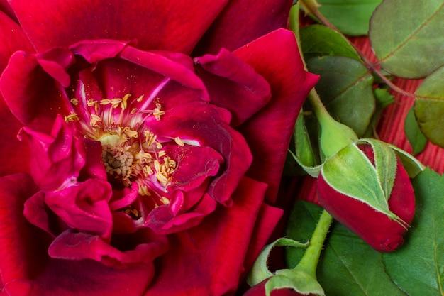 Close-up czerwony płatek róży z zielonymi liśćmi