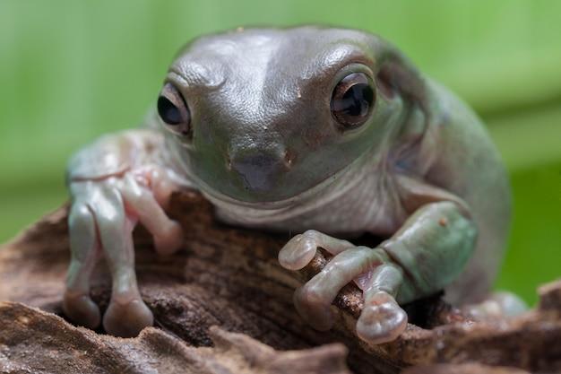 Close-up dumpy zielona żaba drzewna