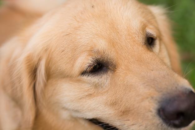 Close-up golden retriever
