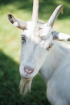 Close-up gospodarstwa kóz na pastwisku