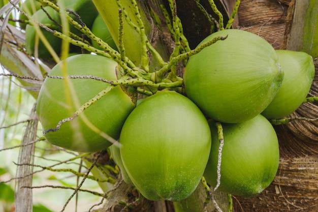 Close-up kilka zielonych orzechów kokosowych na drzewie w ogrodzie.