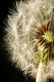 Close-up kwiat mniszka lekarskiego