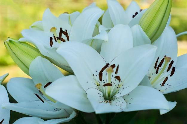 Close-up kwiaty i pąki shikara białej lilii na tle kwitnącego ogrodu.