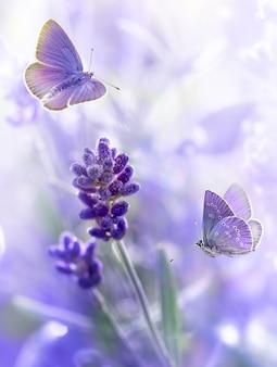 Close-up kwiaty lawendy z poranną rosą i latające motyle w letni poranek w tle. fioletowe rosnące lawendowe tło naturalne, kartka z życzeniami