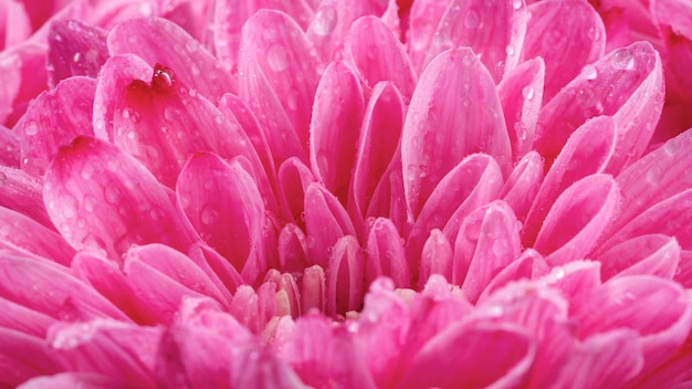 Close-up mokre różowe płatki