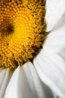 Close-up na biały kwiat stokrotki