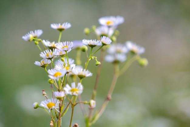 Close-up na białym tle bukiet przetargu piękne dzikie białe stokrotki oświetlone rano słońce rosnące na wysokich łodygach w polu lub ogrodzie na niewyraźne mgliste miękkie zielone tło. piękno i harmonia koncepcji natury.