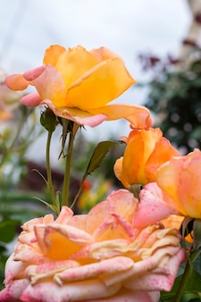 Close-up piękne róże płatki